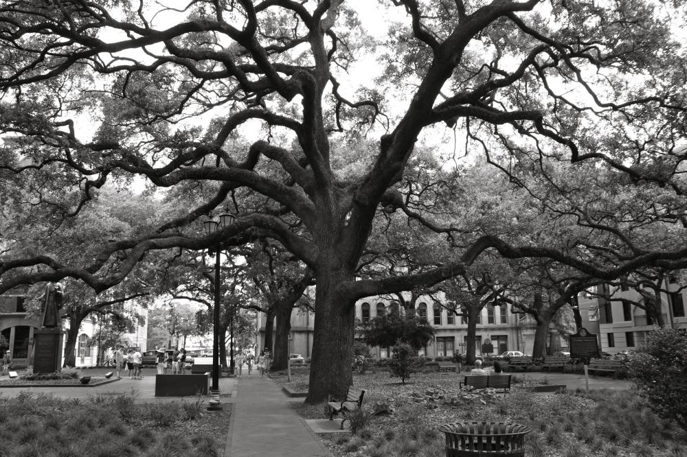 Savannah Square Oak Tree Black & White