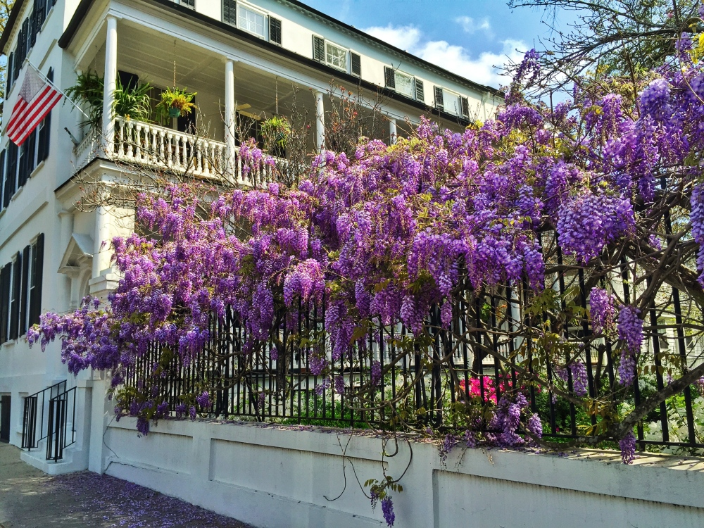 Bougainvillea on Meeting Street  in Charleston.