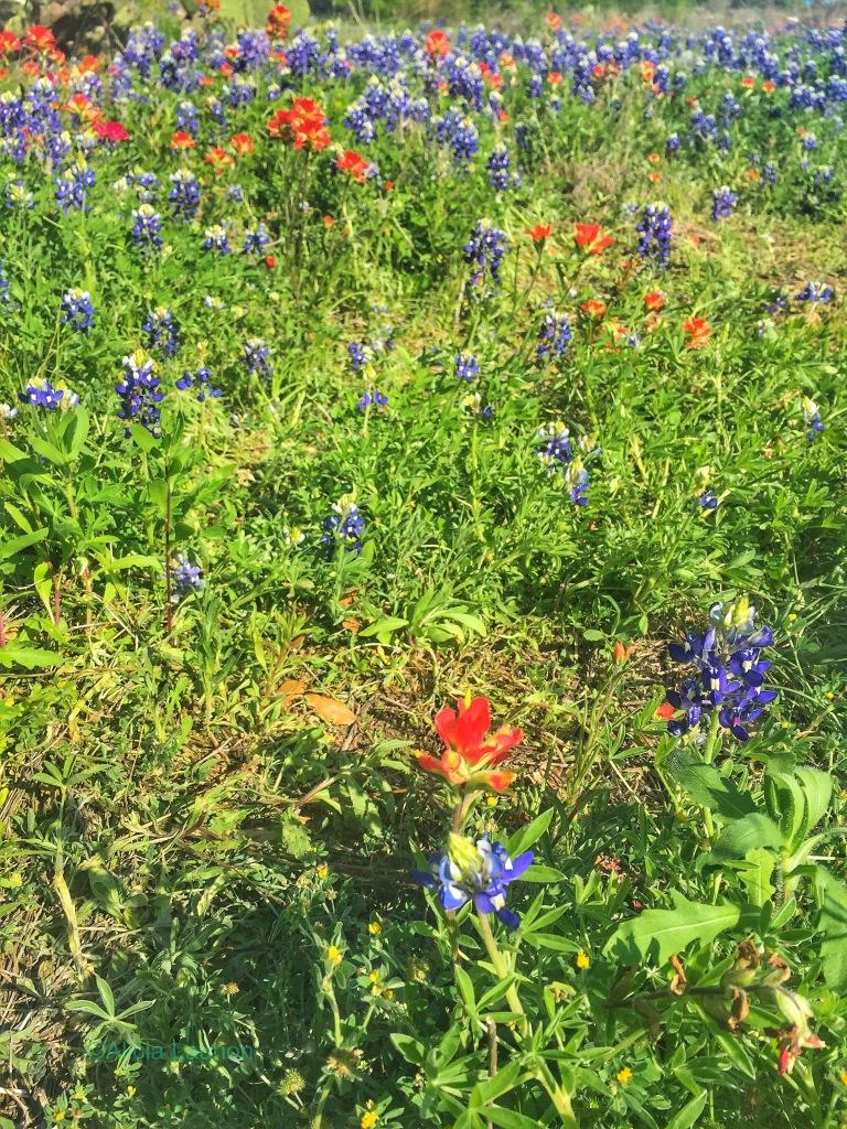 Reimers Ranch Park Blue Bonnets
