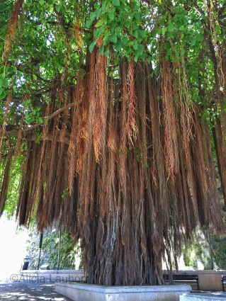 Banya Tree - San Juan Gate